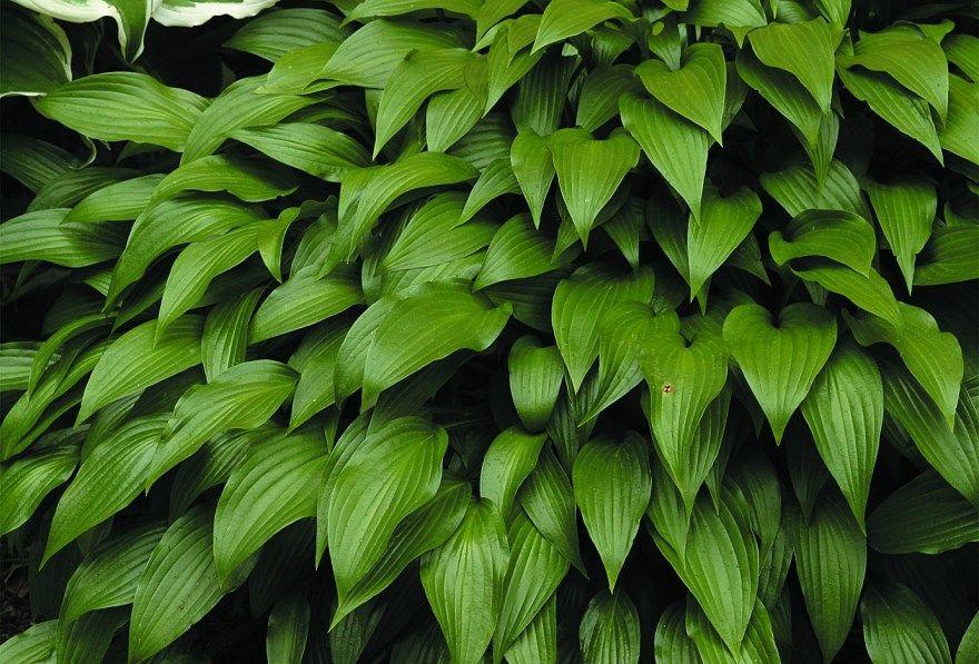 Хоста фото сочи санаторий купить официальный сайт школа описание оранской погода скачать растения смотреть онлайн на зиму домашние условия