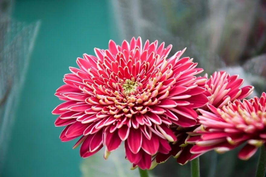 Хризантема фото купить мультифлора букет осенью цветы многолетние на зиму в горшках сорта домашняя кустовая услвоия черенки корейская семена цвета открытый грунт  ботанический сад