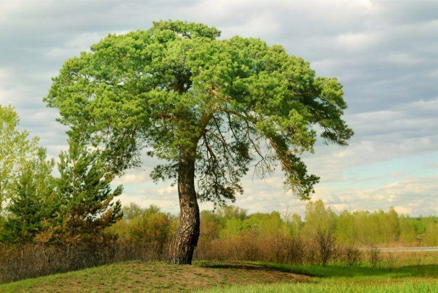 хвойные растения фото какие названия в природе