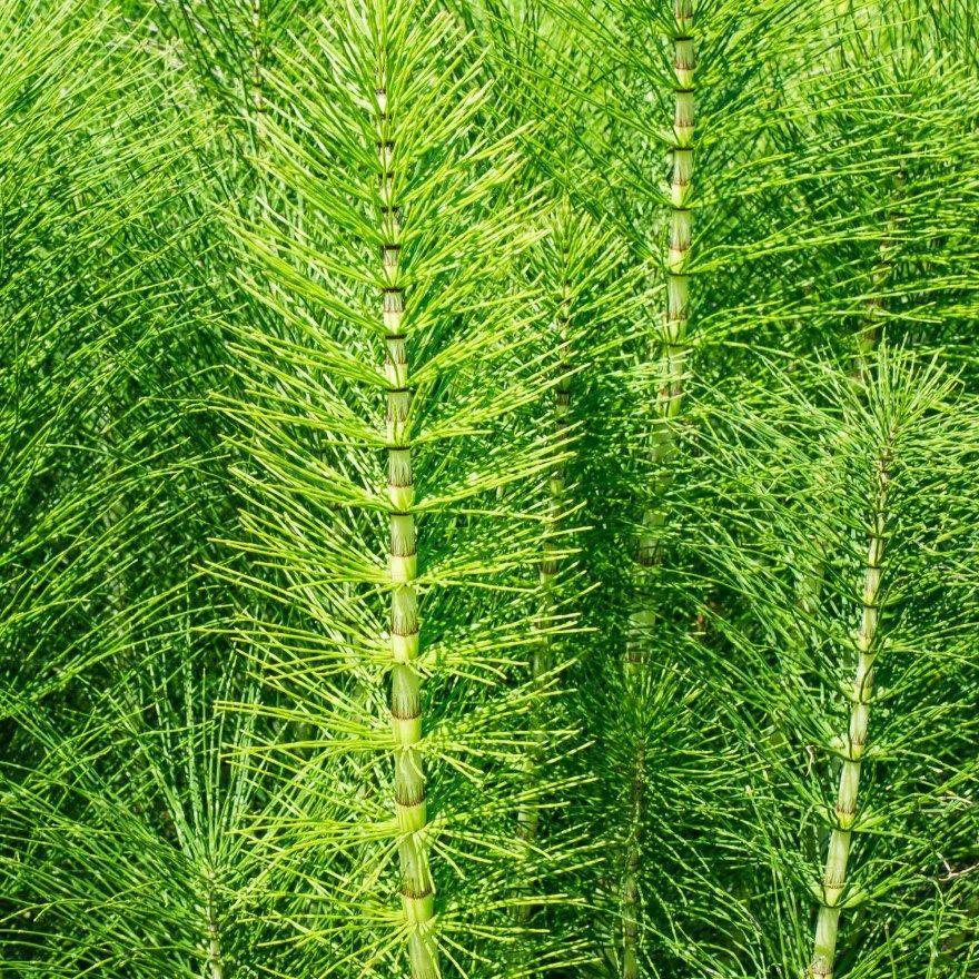 хвощ растение полевой лесной полезными лечебными свойствами Для волос болотный применение пенза камыши папоротник листья побеги строение экстракт мхи купить отзывы противопоказания лесной