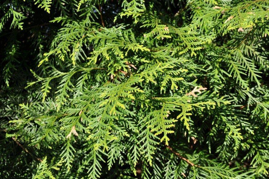 Хвойные растения фото картинки для дачи сада купить в природе разных видов бесплатно смотреть скачать