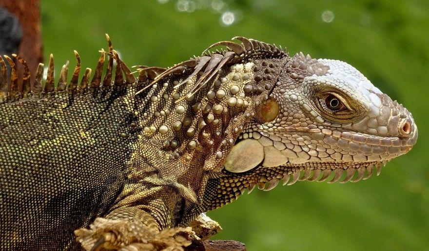 Игуана фото картинки бесплатно смотреть зеленая лучшие