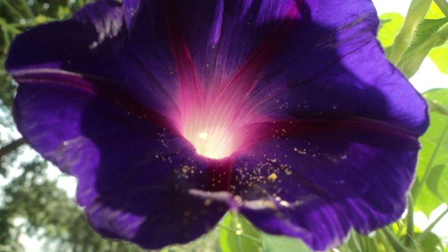 Ипомея фото батат уход посадка цветы семена многолетняя купить квамоклит голубая пурпурная комнатная цвет грунт открытый разновидности комнатная звезды небесная сорта листья смесь однолетняя