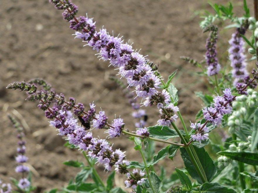 Иссоп свойства трава лекарственный противопоказания фото лечебные полезные растения уход посадка открытый грунт