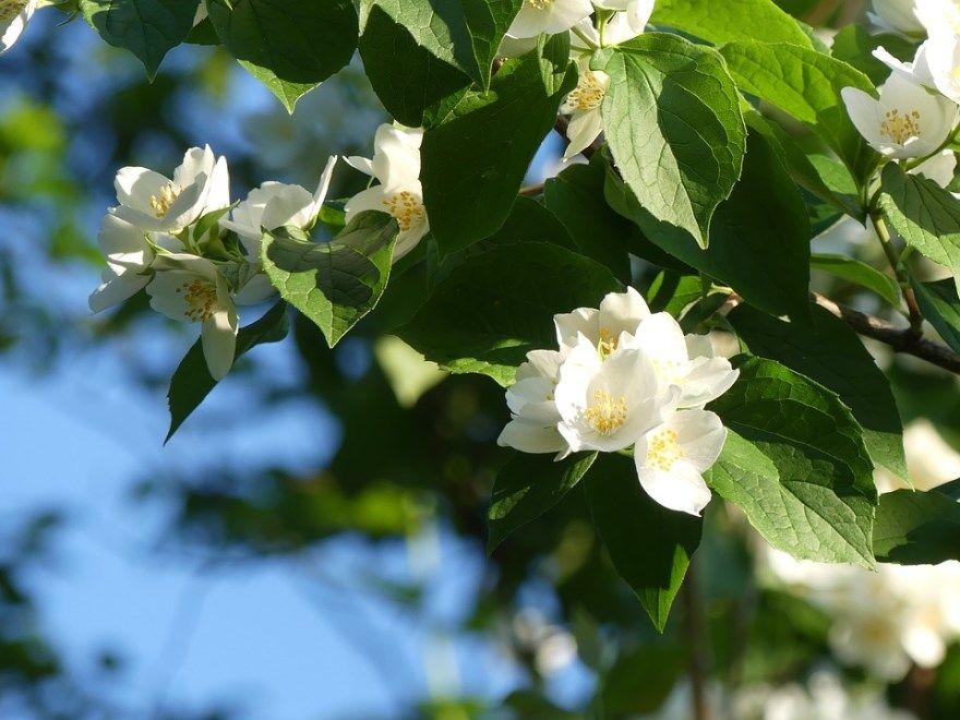 жасмин фото картинки растение лечебное полезные свойства цветущее домашнее онлайн смотреть белые цветки