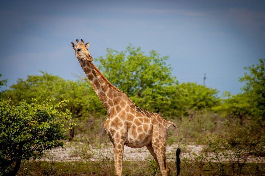 жираф фото картинки сколько позвонков купить скачать бесплатно пятна