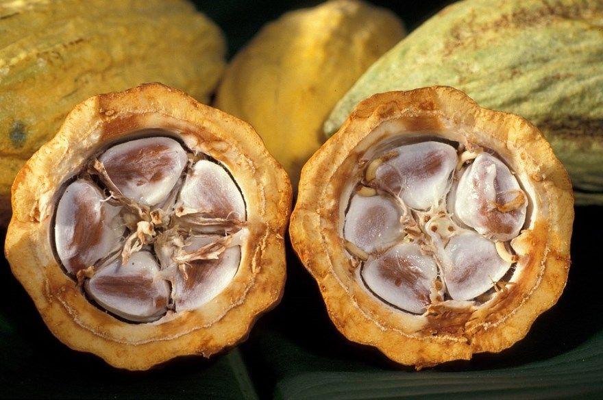 Какао масло порошок рецепт купить шоколадное бобы молоко домашнее условия отзывы можно ли печенье торт вред польза как варить приготовить цена состав где напиток пирог