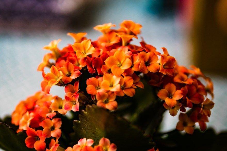 каланхоэ фото картинки домашняя садовая купить цветущая лечебная растения листья бесплатно смотреть скачать