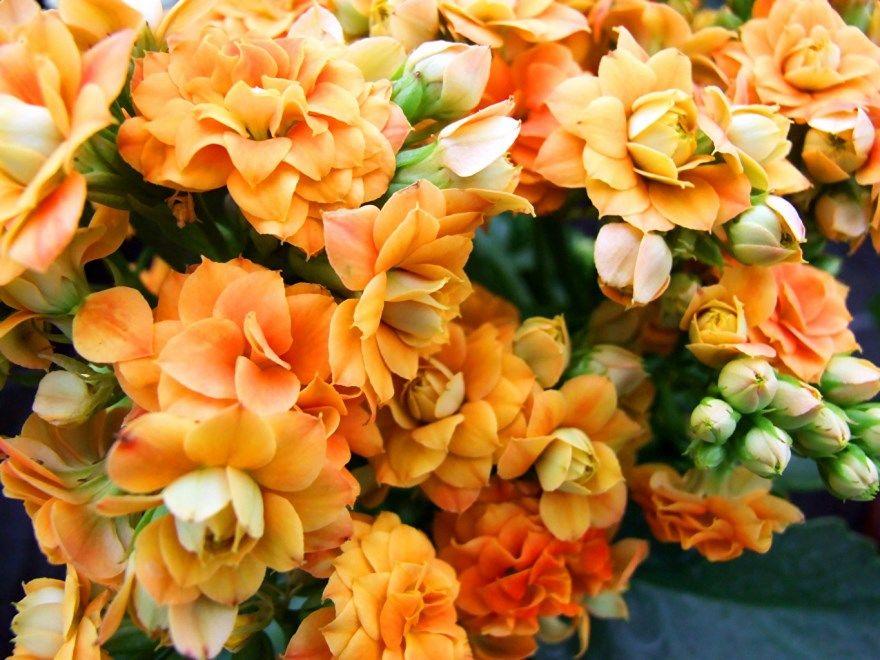 каланхоэ лечебное фото картинки домашняя садовая купить цветущая растения листья бесплатно смотреть скачать