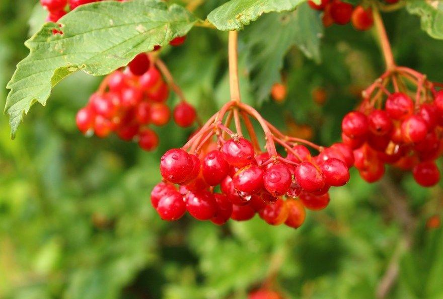 Калина фото ягода лечебные полезные лекарственные свойства открытый грунт купить лада красная песня клапана кросс мост хэтчбек город