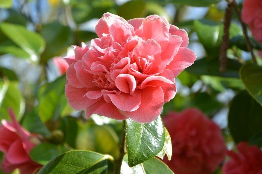 камелия фото картинки купить бесплатно цветочный магазин красивые скачать в хорошем качестве листки