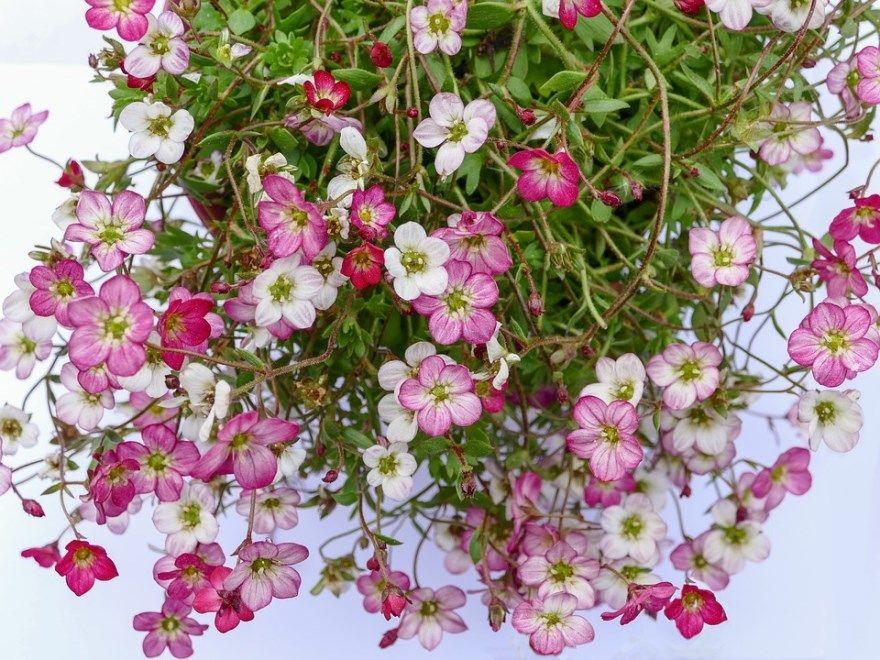 Камнеломка фото уход посадка грунт открытый купить семена бедренец цветов растение комнатная цвет арендса трава осенью теневая плетеносная название