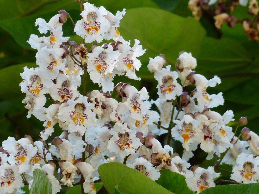 Катальпы фото дерево описание посадка уход бигнониевидная купить семена прекрасная отзывы нана саженцы вырастить великолепная осенью подмосковье цветущая размножение