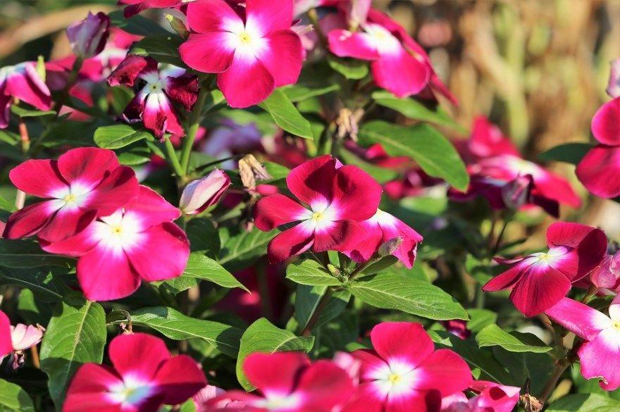 Катарантус фото уход цветок выращивание домашние условия ампельный открытый грунт посадка купить листья семена зимой цвет комнатный кора черенками дома барвинок