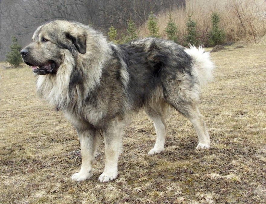 Кавказская овчарка щенки купить фото порода собака цена спб москва авито видео