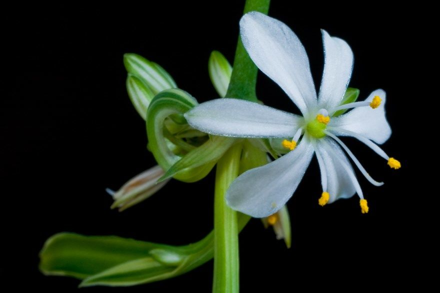 Хлорофитум фото уход в домашних условиях цветок листья комнатный растение хохлатый кудрявый почему виды какой можно желтеет польза оранжевый пересадка сорта свет цветущий корни