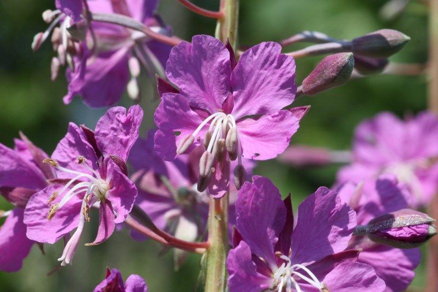 кипрей фото картинки растения полезными качествами лечебными корнями помогающего при кашле купить магазин