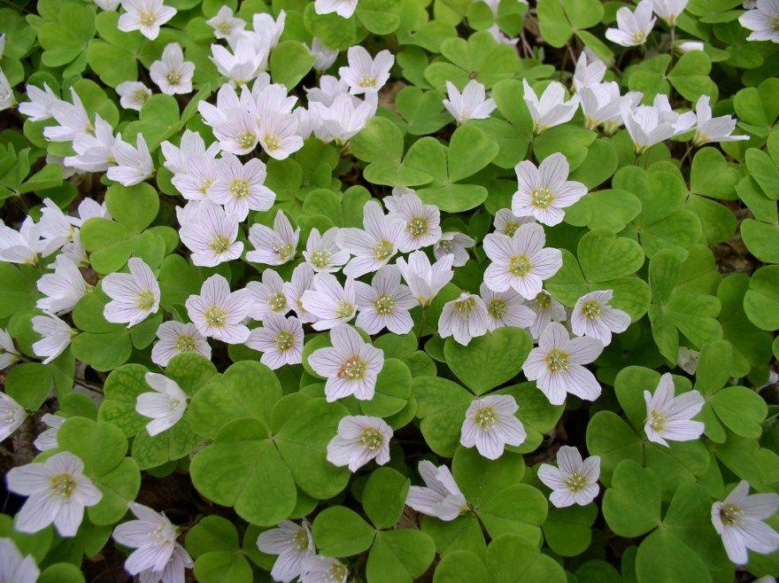 Кислица фото картинки в домашних условиях скачать онлайн красивые цветы белого цвета садовые с листьями купить