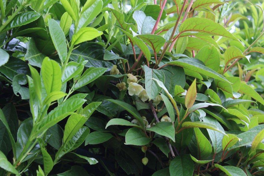 лимонник лечебный фото картинки с ягодами полезные настойки купить магазин китайский бесплатно свойства