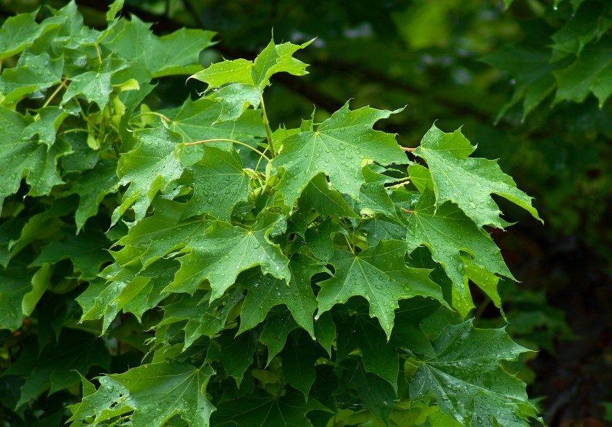 Клен фото листь дерево осенью канадский американский семена цветы виды сорта описание ясенелистный разновидности остролистный пошаговое комнатный как выглядит