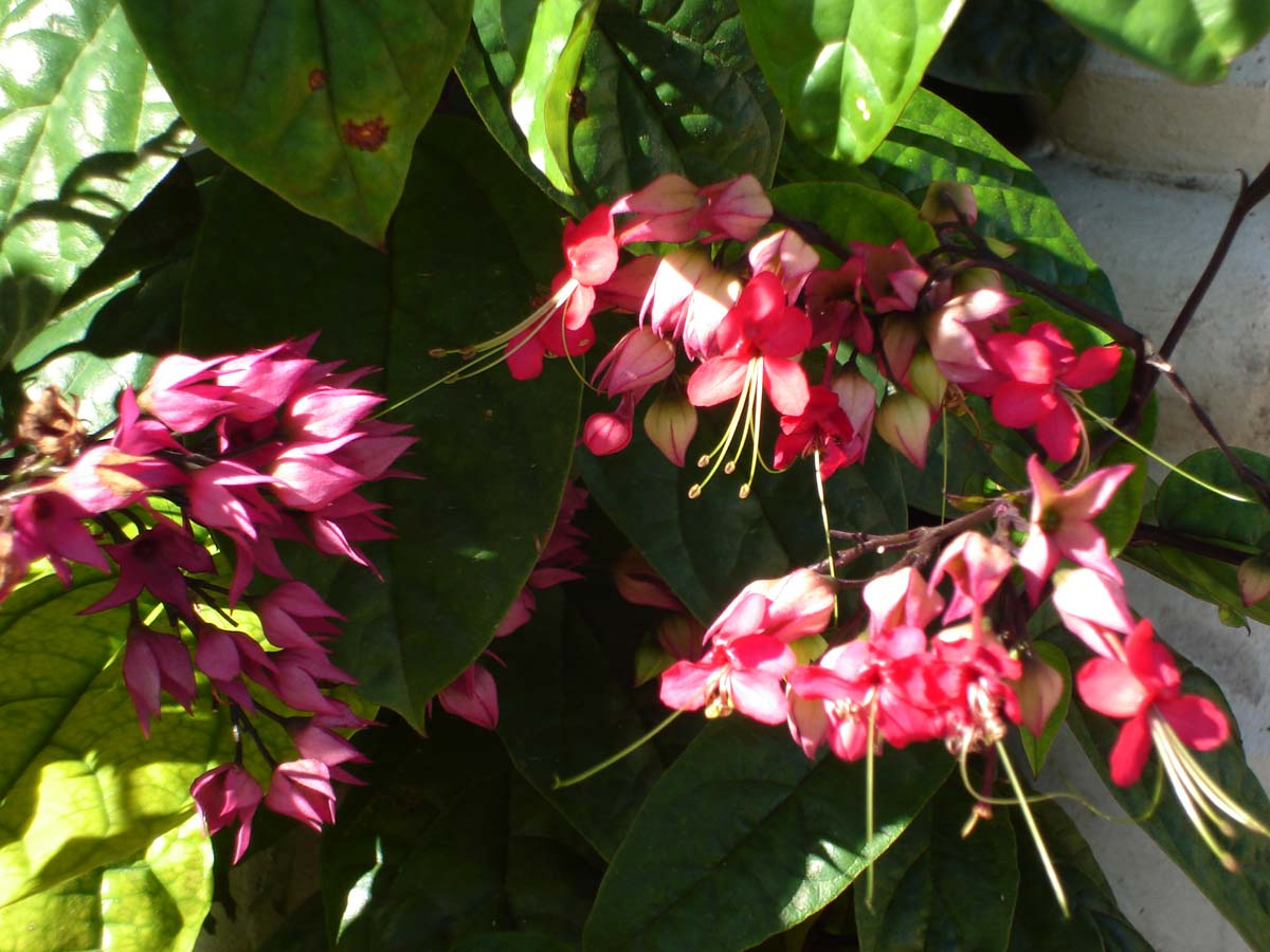 Клеродендрум уход томпсон в домашних условиях фото цветок домашний томпсона филиппинский почему не цветет инерма просперо приметы