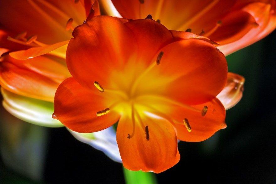 Кливия фото уход домашние условия цветок цветущая листья купить не цветет почему растение киноварная комнатная пересадка размножение корни видео любимый дом спальня приметы детская