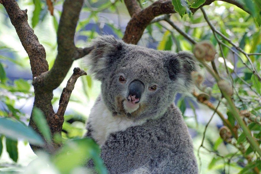 Коала картинки фото животное смешные лучшие бесплатно для детей