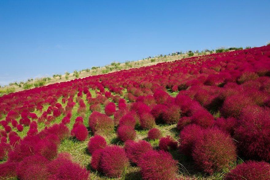 Кохия фото посадка уход семена открытый грунт цветы летний веничный кипарис летний выращивание купить многолетняя цвет растение дизайн султан ландшафтный дизайн волосистая