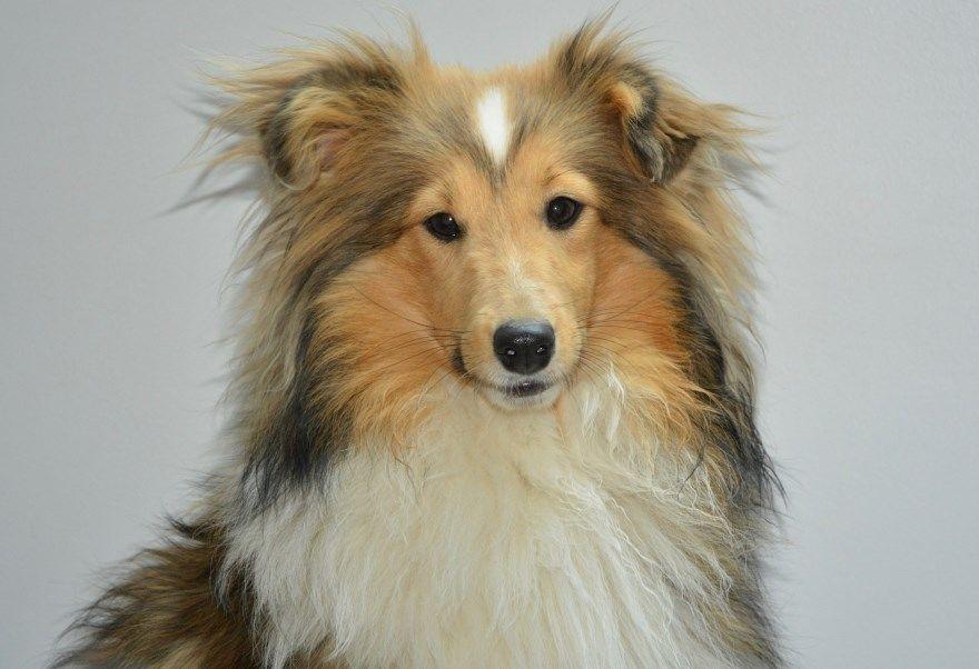 колли шелти бордер щенки купить фото порода собака цена спб москва авито видео