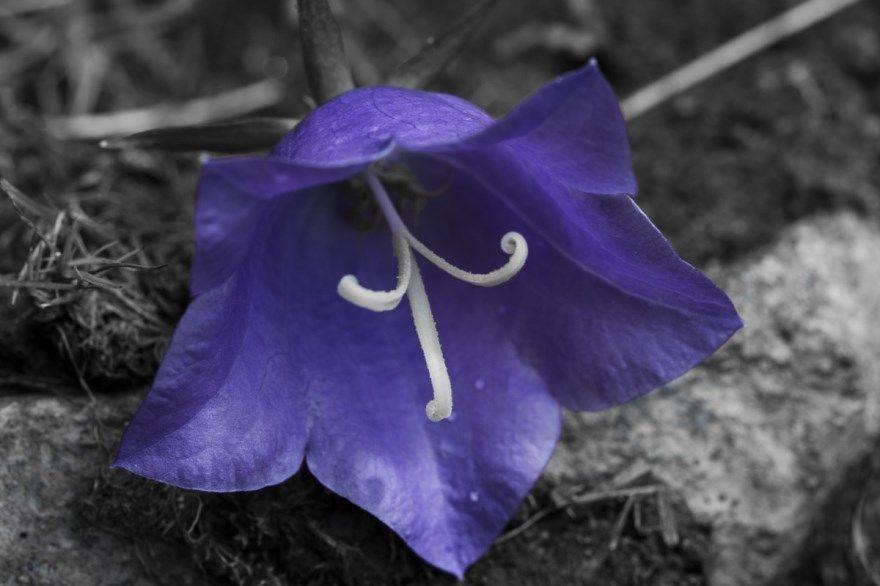 Колокольчик фото окружающий мир цветок названия сорта описание уход посадка 1 класс перец карпатский растения многолетние фиалка отзывы сияющий цвет как выглядит комнатный
