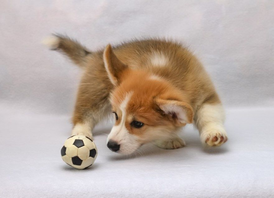 Вельши корги щенки купить фото порода собака цена спб москва авито видео