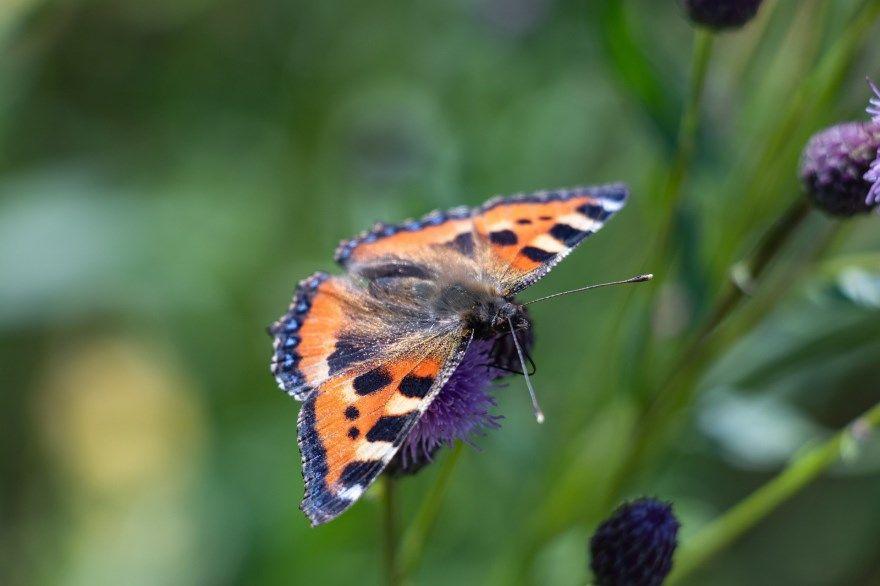 Крапивница бабочка фото картинка во весь экран как выглядит онлайн скачать бесплатно в хорошем разрешении
