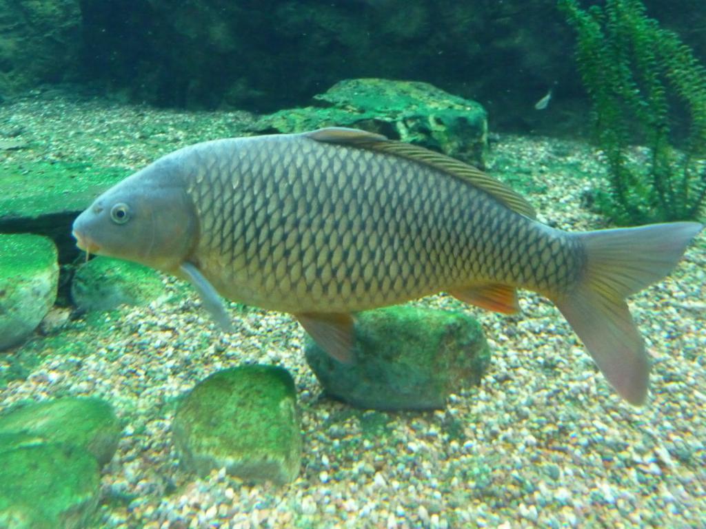 карп рыба фото картинки скачать бесплатно онлайн в хорошем качестве