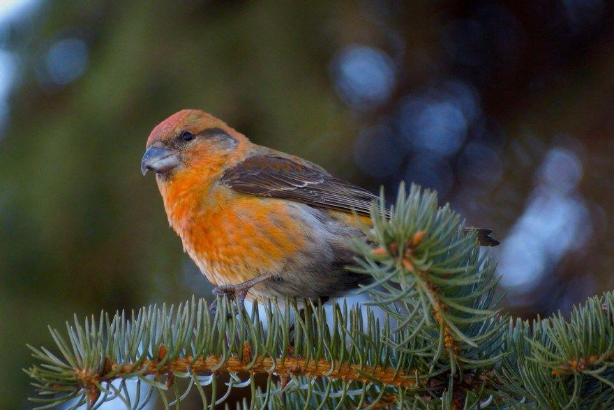 клест птица фото картинки скачать бесплатно онлайн в хорошем качестве