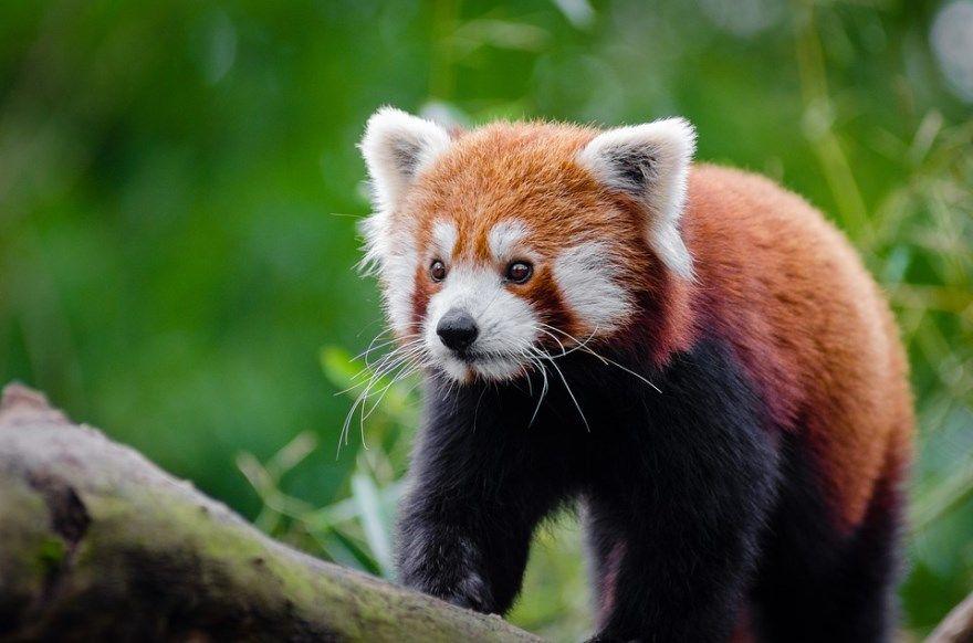 Красная панда фото картинки купить цена книга зоопарк в России