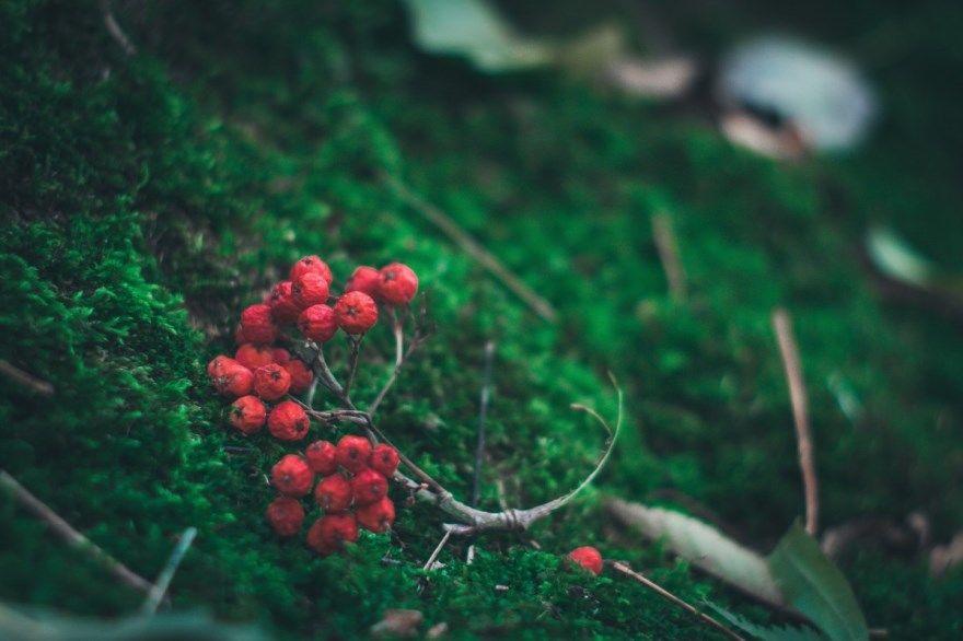 Рябина черноплодная красная песня домашняя рецепты лист свойства ветка вино условия гроздья фото противопоказания вред польза