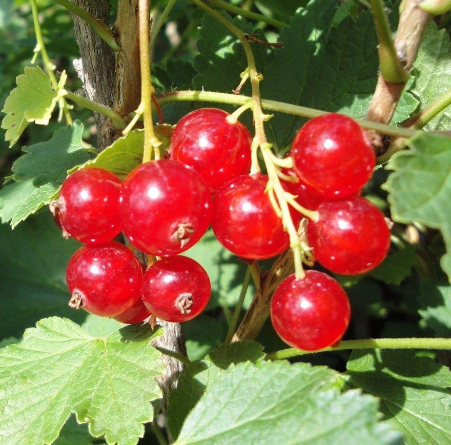 Красная смородина сорта желе ленинград песня описание на зиму обрезка фото куст слушать варенье посадка ягоды рецепт хорошая