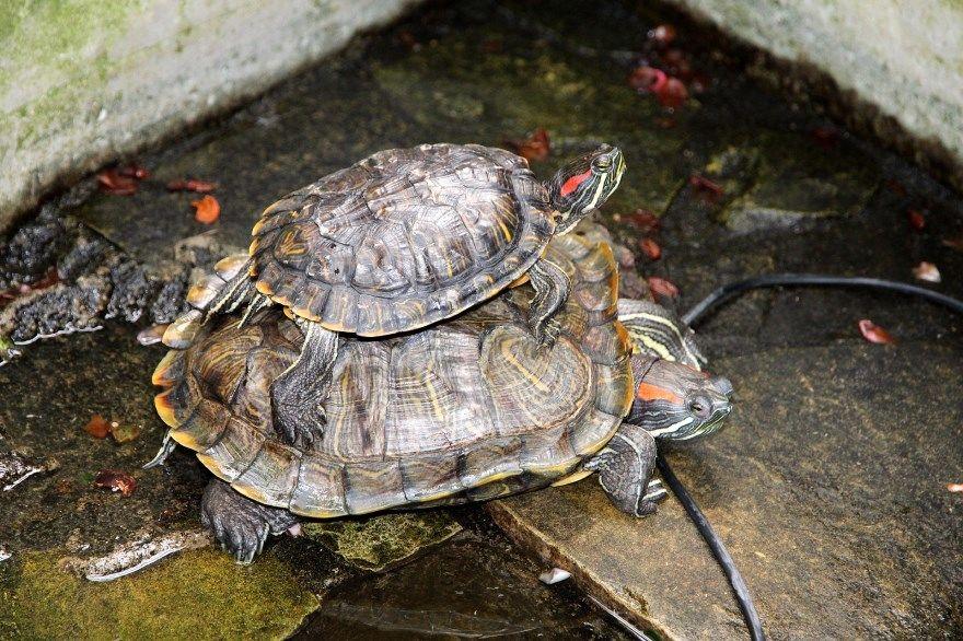 красноухая черепаха фото картинки скачать бесплатно онлайн в хорошем качестве