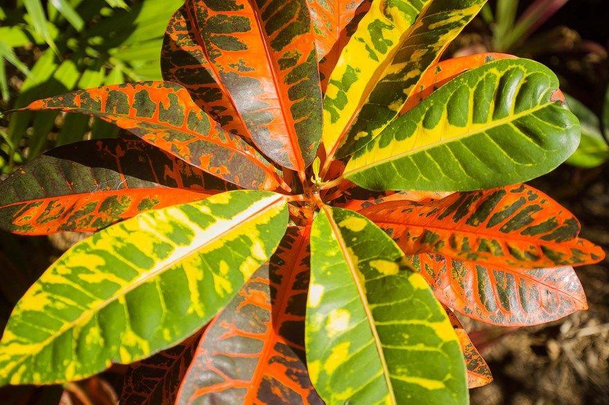 кротон фото картинки растения в домашних условиях купить комнатные уход за бесплатно смотреть