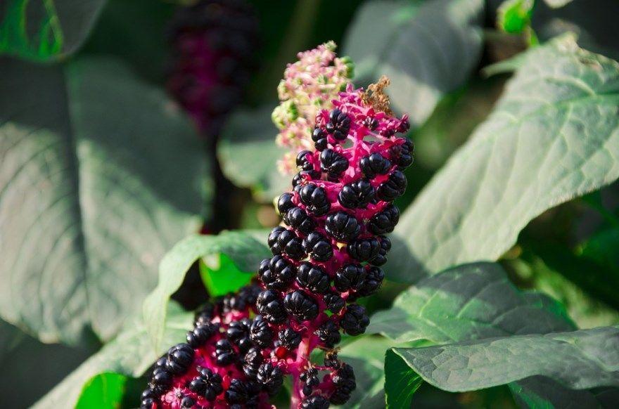 Лаконос американский свойства лечебные фото ягода растение полезные фитолакка цветок семена корень купить рецепты лекарственный лечение