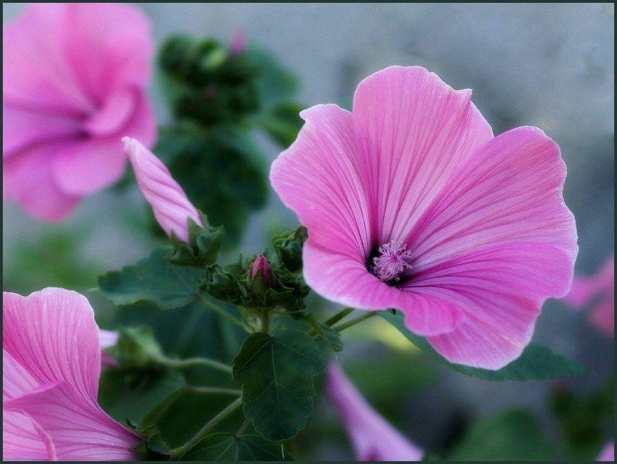 Лаватера фото цветы многолетняя семена посадка уход выращивание цвет сажаем открытый грунт салон купить на зиму в клумбу