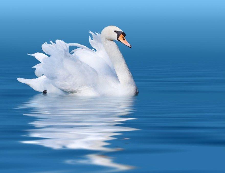лебедь белый фото картинки скачать бесплатно онлайн в хорошем качестве
