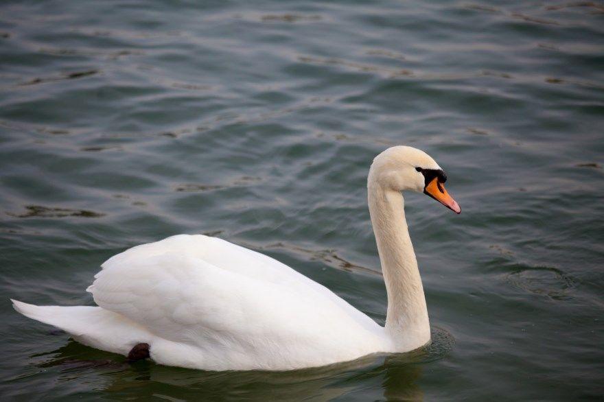 лебедь фото картинки белый черный серый скачать бесплатно онлайн в хорошем качестве
