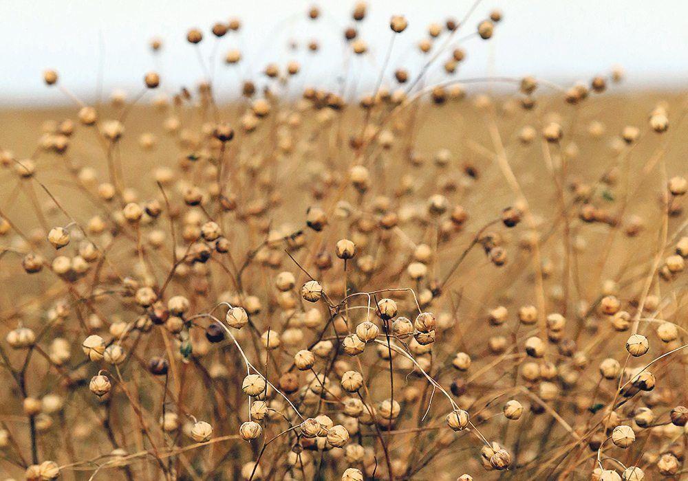 Лен фото картинки лечебное полезное свойства купить Сайт инстаграм спб песня рождения река растение мира миро обл семена масло