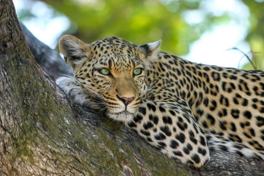 Леопард фото картинки кошка скачать бесплатно онлайн порода купить дальневосточных дымчатый