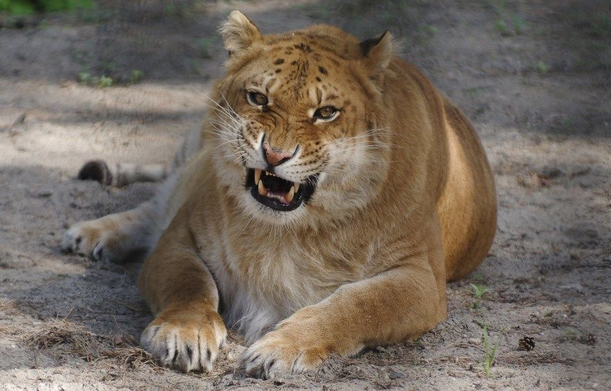 лигр фото картинки гибрид льва тигра животное видео геркулес большой самый