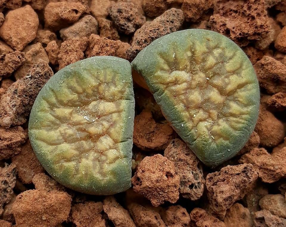 Литопсы купить семена уход домашние камень живые условия фото микс выращивание цветок москва кактус содержание ротанг вельвичия