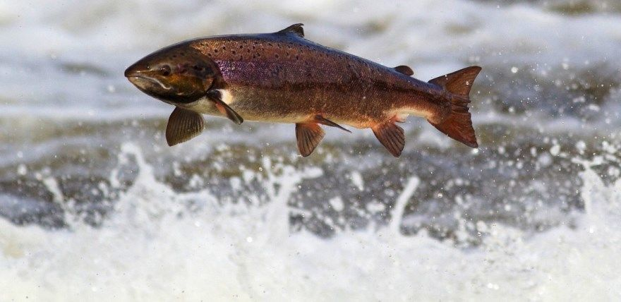 лосось рыба фото картинки скачать бесплатно онлайн в хорошем качестве