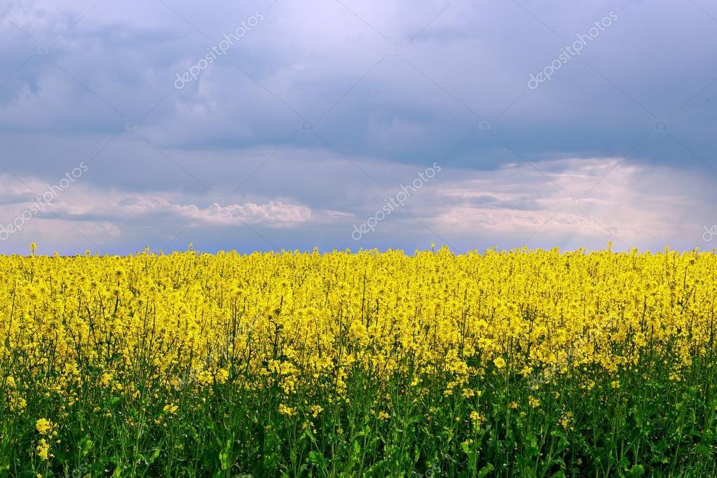 люцерна фото картинки краснодар купить полезными лечебного Семена сено купить свойства швейцария посевная трава противопоказания осенью сеять янг бойз клевер сорта где сьон цюрих