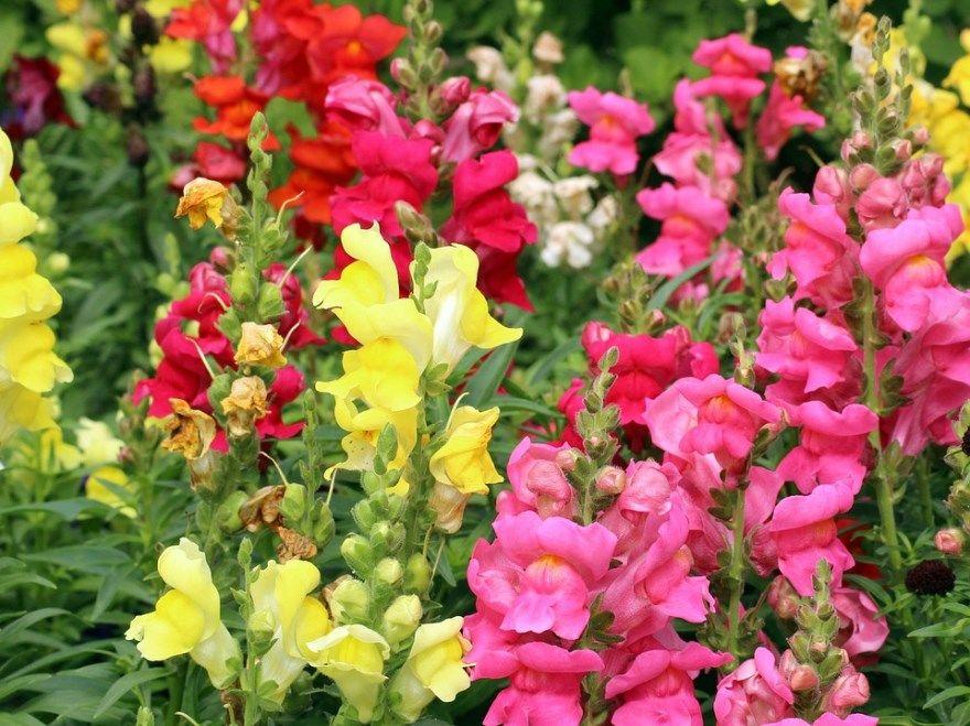 Львиный зев цветы фото выращивание растение семян посадка красный сажать уход ампельный однолетник многолетник сорта купить твинни белый желтый